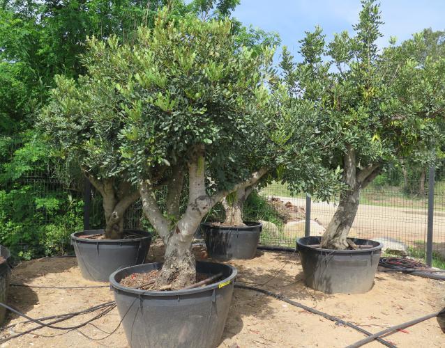 algarrobo garrofer Ceratonia siliqua