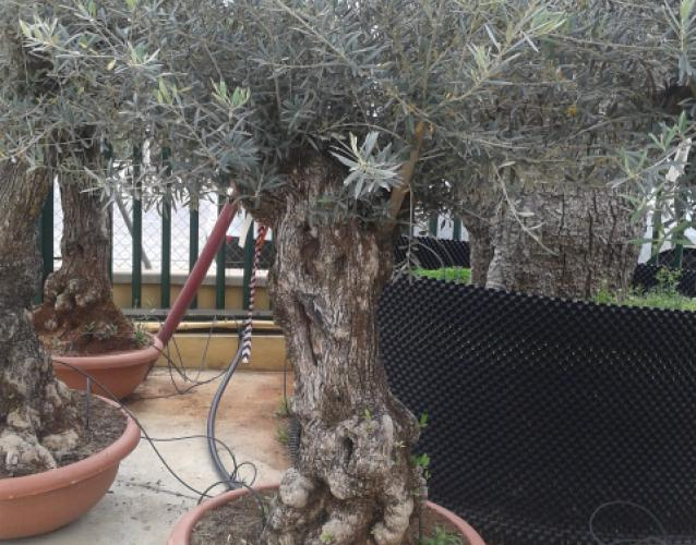 olivo con pocas raices para terraza