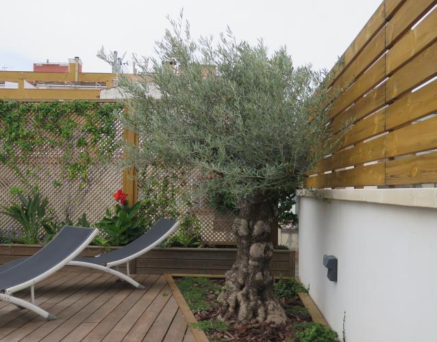 olivo centenario en la terraza