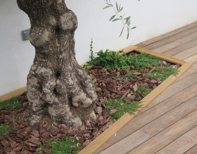 olivo plantado en la terraza jardinera