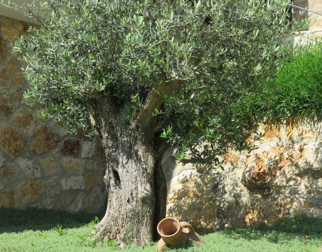 olivo ejemplar centenario