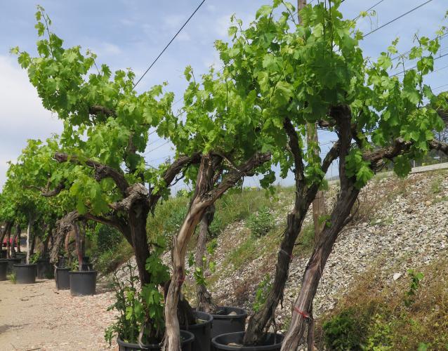vinyes verdes a vora del mar Viñas antiguas