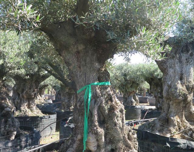 olivo centenario para terraza