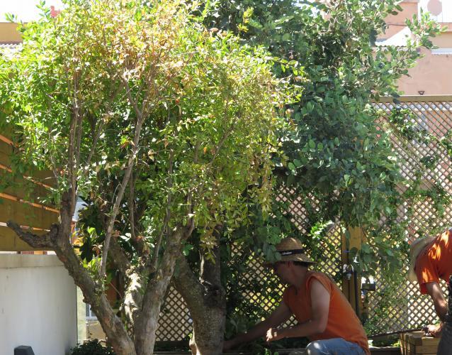 arboles grandes  en la terraza granado y algarrobo